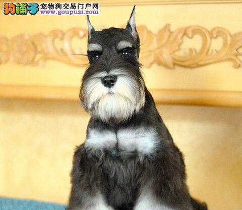 魅力四射机警又活泼的太原雪纳瑞找新家 可视频看狗