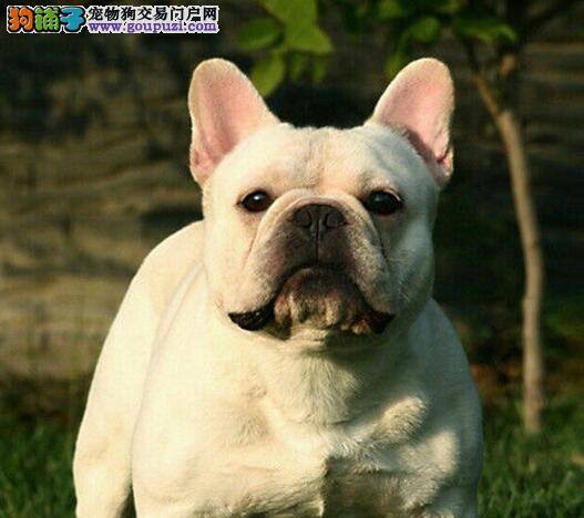 实物拍摄的长沙法国斗牛犬找新主人优质服务终身售后