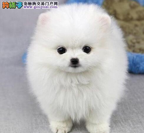 多种颜色的赛级博美犬幼犬寻找主人当日付款包邮