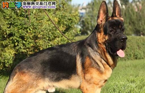 出售自家繁殖的德牧幼犬