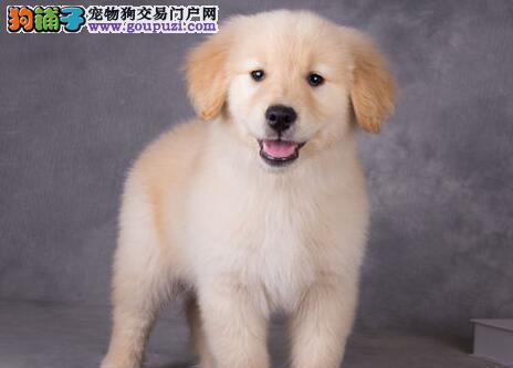 广州美系金毛、疫苗已做齐、送狗上门可看狗视频