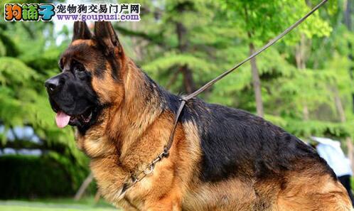 邢台优质锤系德国牧羊犬出售 大头黑脸方嘴 品相极佳