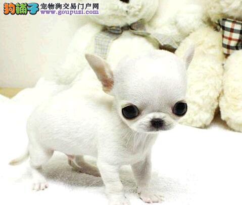 超小体品相佳的南昌吉娃娃幼犬找新家 爱狗人士优先选