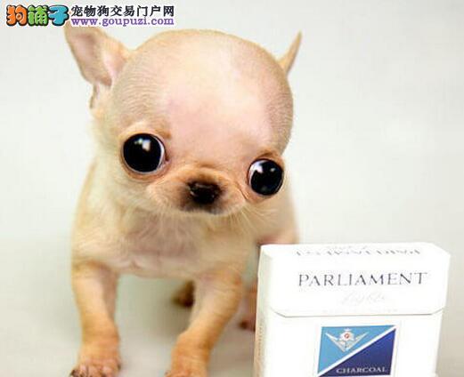 赛级吉娃娃幼犬 完美品相 品质第一 提供养护指导