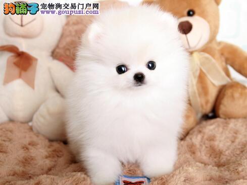 cku认证养殖基地热销福州博美犬 保证物有所值请放心