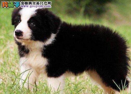 广州纯种高品质边牧幼犬 专业繁殖中型犬犬舍
