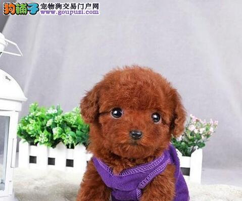 高端泰迪犬幼犬,假一赔十品质第一,当天付款包邮