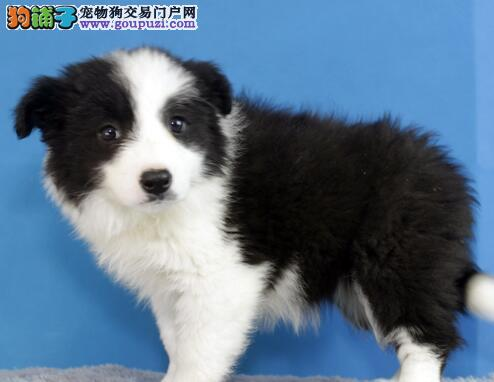 完美品相血统纯正北京边境牧羊犬出售签订三包合同