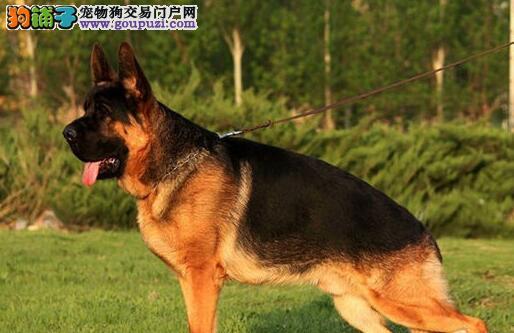 广州犬舍出售真正的顶级锤系德国牧羊犬 名血的后代3