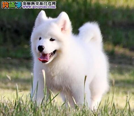 萌萌哒萨摩耶 伴侣犬的最佳选择 新余大型狗场