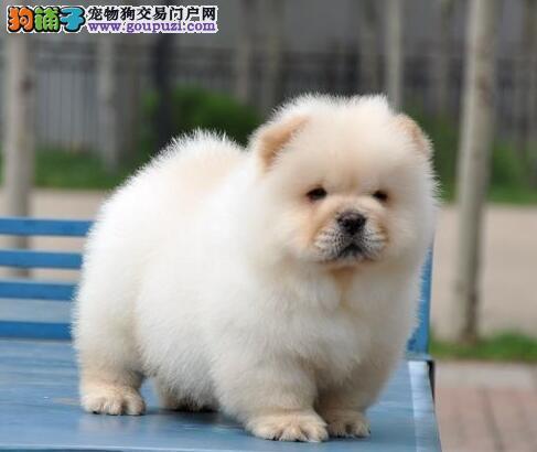 西城纯种健康松狮犬出售上门看狗带走价格有优惠包养活