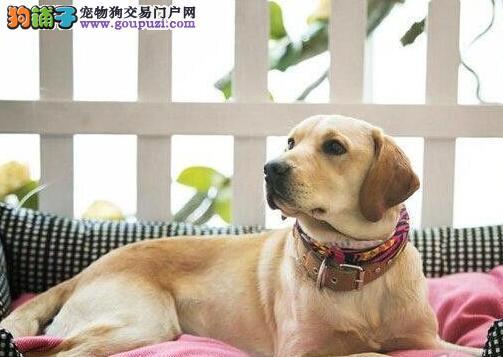 自家繁殖的南宁拉布拉多犬低价出售 喜欢的朋友上门选