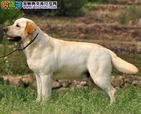 出售纯种健康的拉布拉多幼犬冠军级血统品质保障