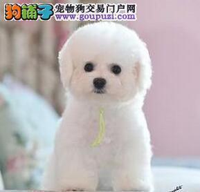 重庆比熊犬 纯种健康出售棉花糖比熊幼犬疫苗驱虫已做