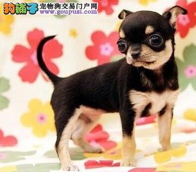 上海纯种墨西哥吉娃娃苹果头大眼睛 相貌标致体态优美