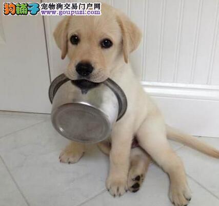 广州售拉布拉多幼犬 神犬小七 拉拉犬公母全有可挑选