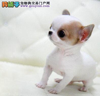纯种幼犬吉娃娃出售/狗狗纯种健康/消保卖家