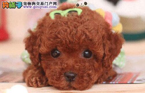 颜色全品相佳的泰迪犬热卖中 贵阳周边地区免费送货