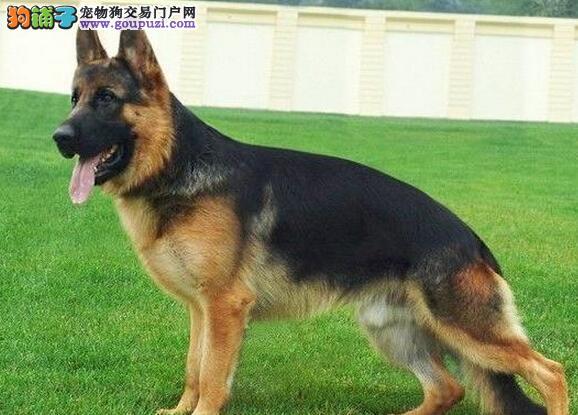 上海自家德国牧羊犬 德国黑背有血统 有保证 品相好看