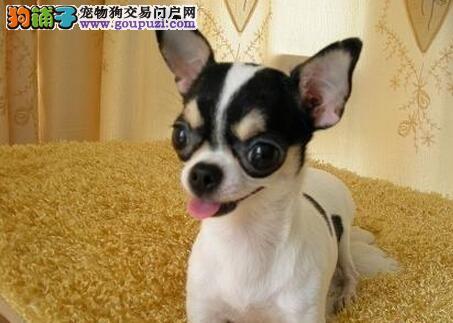身材娇小活泼可爱的汕头吉娃娃找新家 可视频看狗