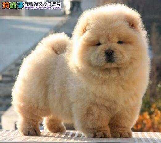 实体店出售杭州松狮犬 大嘴紫舌品相优秀公母都有