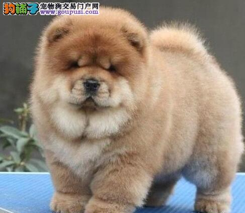 太原大型狗场出售胖乎乎的松狮犬 品相好保品质