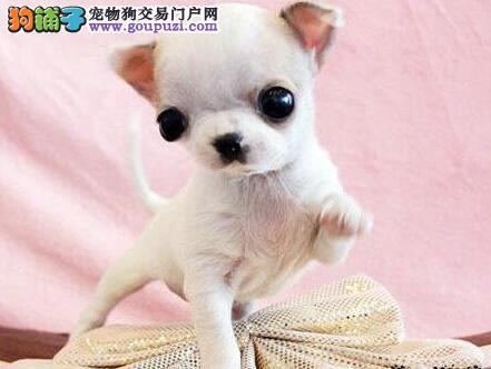 天津大型犬舍低价热卖极品吉娃娃支持全国空运发货1