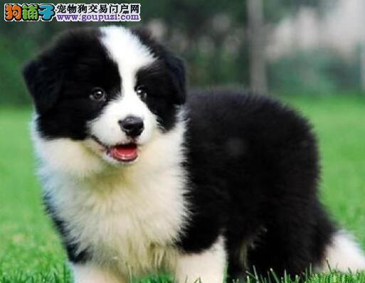 太原狗场出售品相超级棒的边境牧羊犬 上门可看种犬