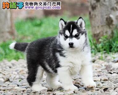 专业正规犬舍热卖优秀的哈士奇赠送全套宠物用品4