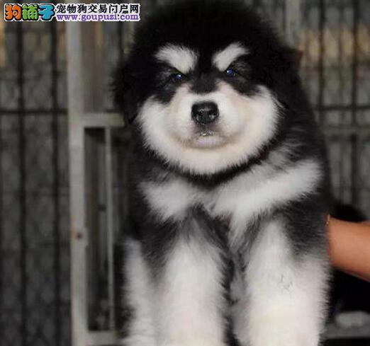 武汉买阿拉犬 全天随时上门看狗狗 种公对外配种