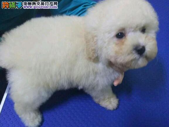 自家繁殖多只好品质郑州贵宾犬包纯种包售后