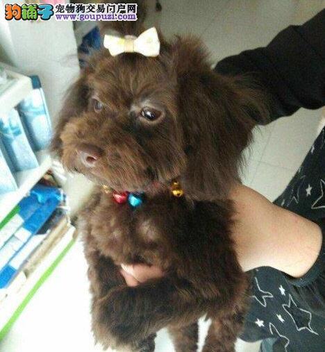 家养多只杭州贵宾犬宝宝出售中全国十佳犬舍