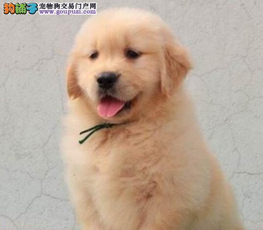 转让大头美系血统的太原金毛犬 可以送货到家挑选