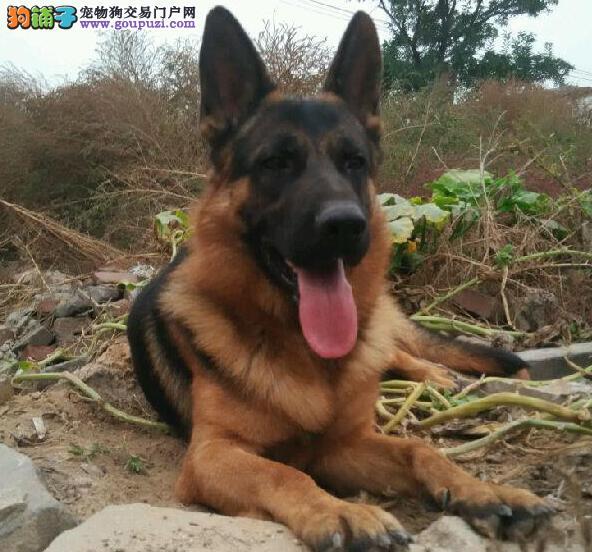 上海专业锤系德牧基地常年出售锤系德国牧羊犬幼犬