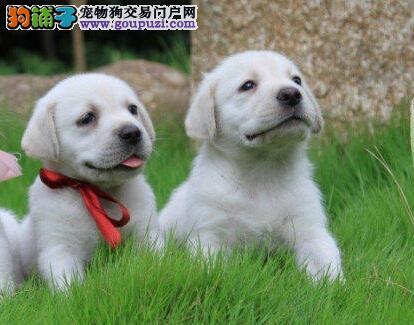 热销纯种冠军级血系广州拉布拉多犬 支持全国空运发货