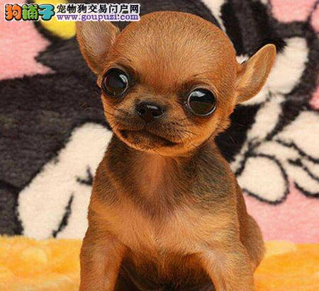 西安自家养殖纯种吉娃娃低价出售微信视频看狗