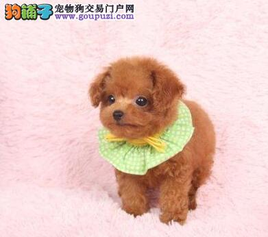 极品优秀纯种泰迪犬郑州自家狗场出售 可签订协议3