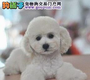 专业狗场热卖极品韩系血统贵宾犬 成都附近可送货