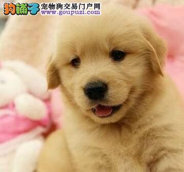 北京正规狗场犬舍直销金毛幼犬喜欢微信咨询