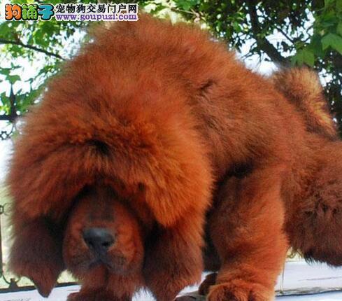 杭州纯种大狮头黄獒红獒藏獒幼仔幼崽幼獒/毛量骨量足