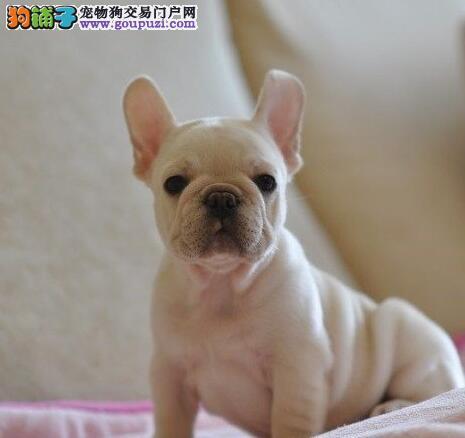 CKU犬舍认证哈尔滨出售纯种法国斗牛犬国际血统认证