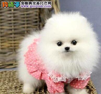 上海售纯种哈多利球体博美幼犬松鼠犬公母全有