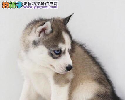 双蓝眼高品质杭州哈士奇出售 实物拍摄 盗图者必究