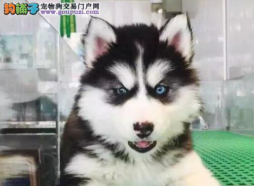 精品纯种哈士奇深圳出售二哈西伯利亚雪橇犬可挑选
