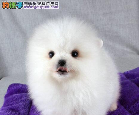 自家繁殖的纯种博美犬找主人微信看狗真实照片包纯
