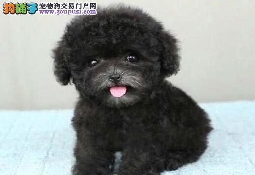 泰迪犬最大的正规犬舍完美售后微信咨询看狗