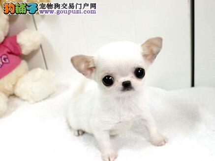上海吉娃娃犬舍专业繁育墨西哥袖珍吉娃娃售超小体吉娃