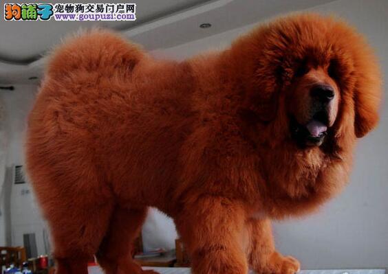 血统长毛大狮头藏獒小狗顶级高品质铁包金藏獒犬