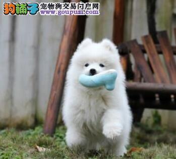 南京正规犬舍直销澳版萨摩耶 可办理血统证书已做疫苗