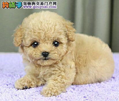 昆明正规犬业直销深红色的泰迪犬 求好心人士收留爱犬